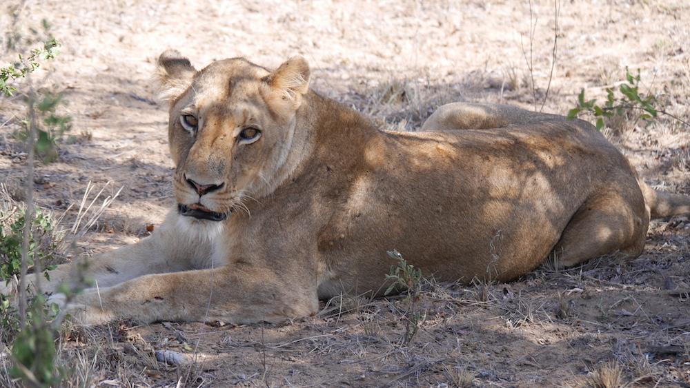 blog lioness